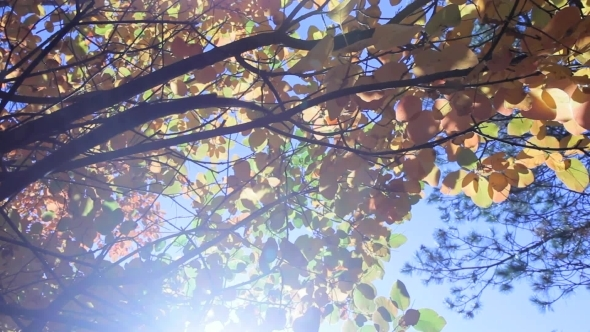 VideoHive Autumn Tree 12229750