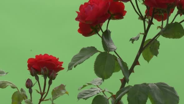 VideoHive Red Rose Bush Red Flowers on Branches Thorns 12230081