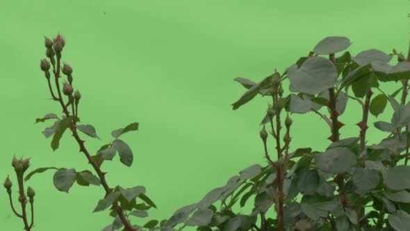 VideoHive Top of Rose Bush Buttons No Flowers 12230201