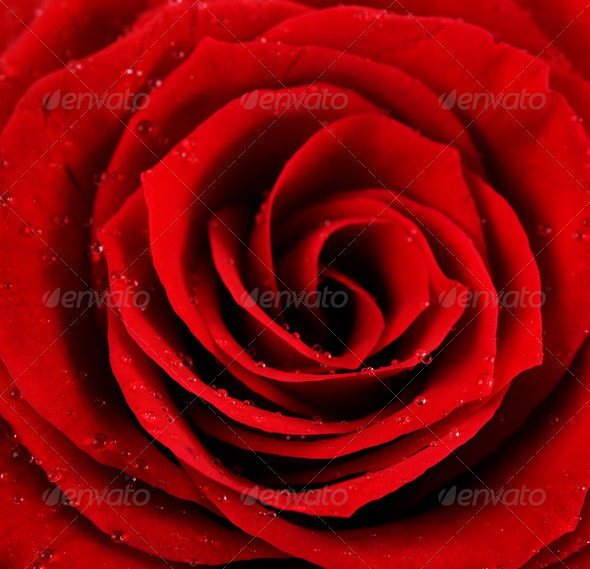 Beautiful Red Rose Center - Stock Photo - Images