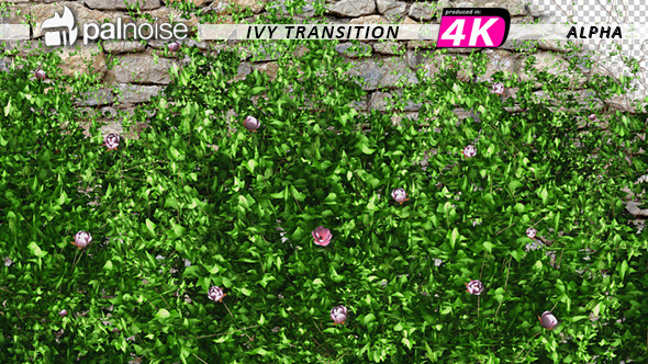 VideoHive Pink Flower & Ivy Growing 12237045