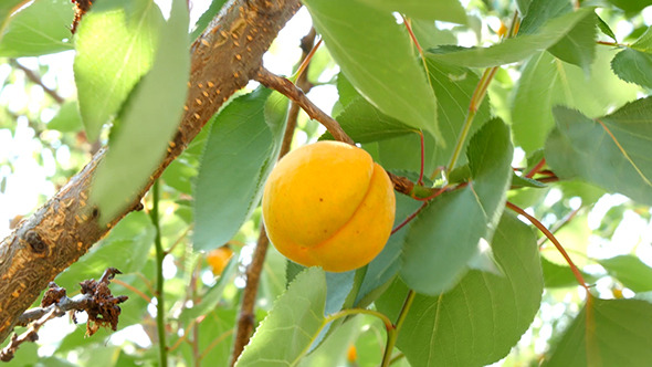 VideoHive Ripe Apricots On Tree Branch 12241399