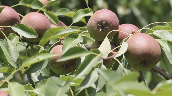 VideoHive A Branch of Pears in The Wind 2 12243408