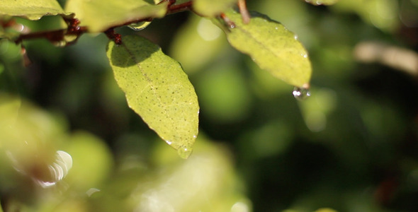 VideoHive Leaves with Drops of Rain 12264311