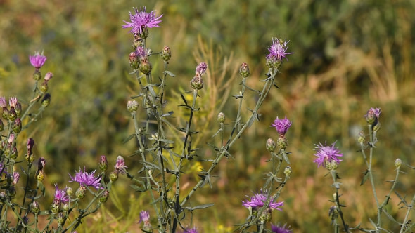 VideoHive Pink Purple Thistle Flowers Tremble In The Wind 12129991