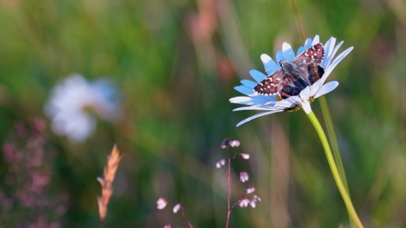 VideoHive Butterfly and Camomile 12275011