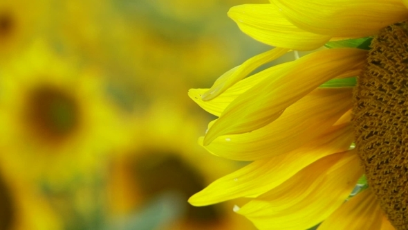 VideoHive Sunflower Petals 12279453