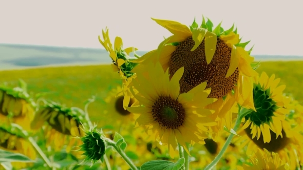 VideoHive Young Sunflowers 12279501