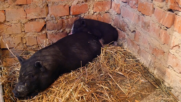 VideoHive Vietnam Black Little Pig In The Barn 12282139