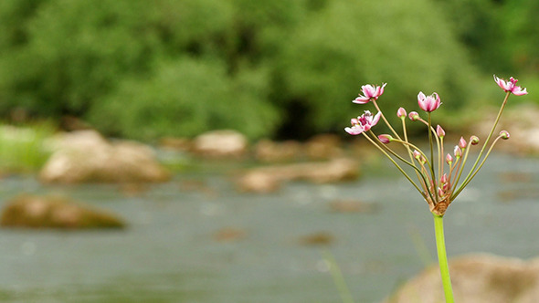 VideoHive Butomus Umbellatus Flowers In Summer Day 12298718