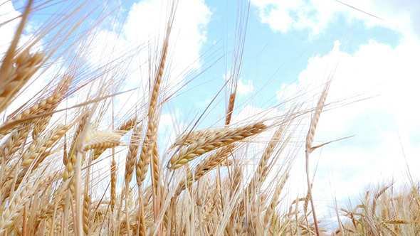 VideoHive Wheat Field Against A Blue Sky 12298937