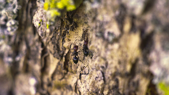 VideoHive Ants on a Tree 12313557