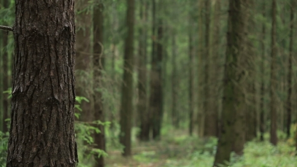 VideoHive Forest With Fallen Trees 12333410