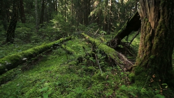 VideoHive Forest With Fallen Trees 12334631