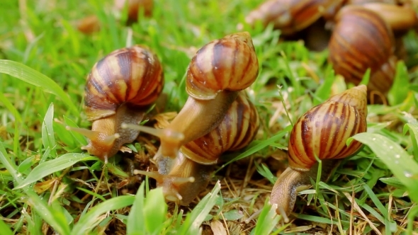 VideoHive Many Crawling Loving And Eating Snails 12336180