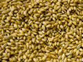 Malted Barley grains - PhotoDune Item for Sale