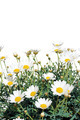 Fresh daisy flowers isolated on white background - empty space - studio shot - cutout - PhotoDune Item for Sale