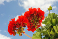 Cranesbill - red garden geranium - Pelargonium over blue sky - PhotoDune Item for Sale