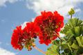Cranesbill - red garden geranium - Pelargonium over blue sky - PhotoDune Item for Sale