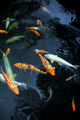 Koi Carp in pond – Monte, Madeira - PhotoDune Item for Sale