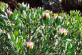 Protea blossoms, Sugarbush - Monte Palace botanical garden, Monte, Madeira - PhotoDune Item for Sale