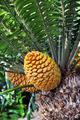 Cycad cone, Encephalartos Transvenosus - Monte Palace botanical garden, Monte, Madeira - PhotoDune Item for Sale