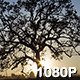 Oak Tree Silhouetted by Sunset               <small class=