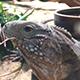 Lizard Eating 2               <small class=