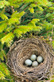 Nest - detail of blackbird eggs in nest - outdoor - PhotoDune Item for Sale