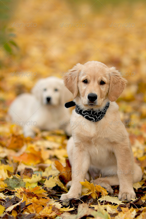 Portrait dog - golden retriever - Stock Photo - Images