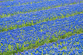 A field of blue common grape hyacinths - PhotoDune Item for Sale