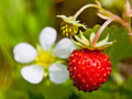 Closeup of a wild strawberry with berries and florets - PhotoDune Item for Sale