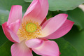Pink Lotus - PhotoDune Item for Sale