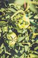 fresh bio beefsteak tomato