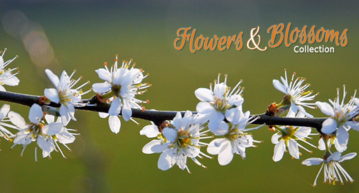 Flowers & Blossoms