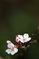 Plum Blossoms - PhotoDune Item for Sale