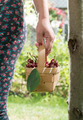 Woman picking cherries in the garden
