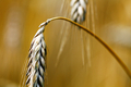 Wheat ears - PhotoDune Item for Sale