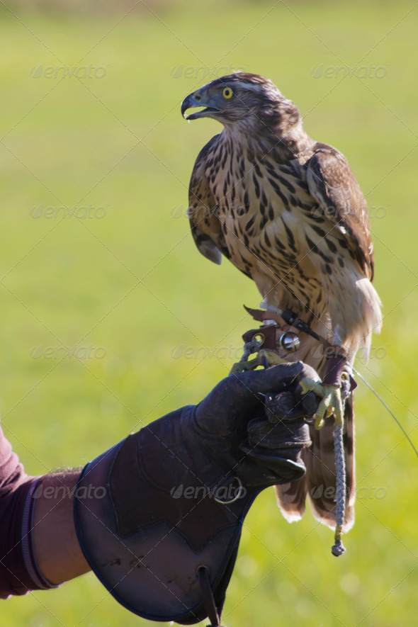 Falconer with raptor - Stock Photo - Images