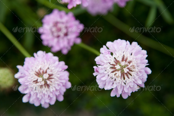 Lavender Pincushion Flower - Stock Photo - Images