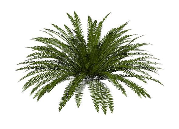Evergreen Fern - 3DOcean Item for Sale