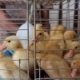 Group Of Little Yellow Ducklings In Cage For Sale