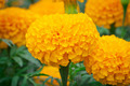 blooming marigolds - PhotoDune Item for Sale