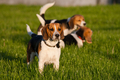 Beagle dogs - PhotoDune Item for Sale