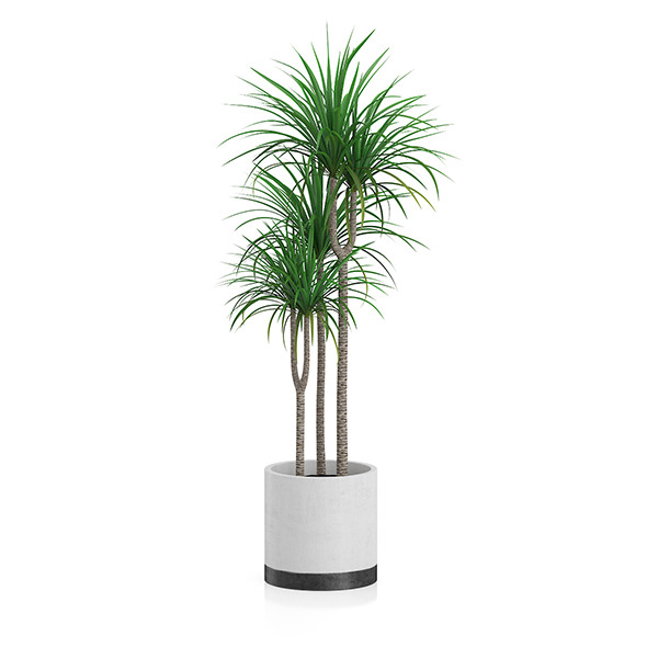 Potted Dracena Plant - 3DOcean Item for Sale