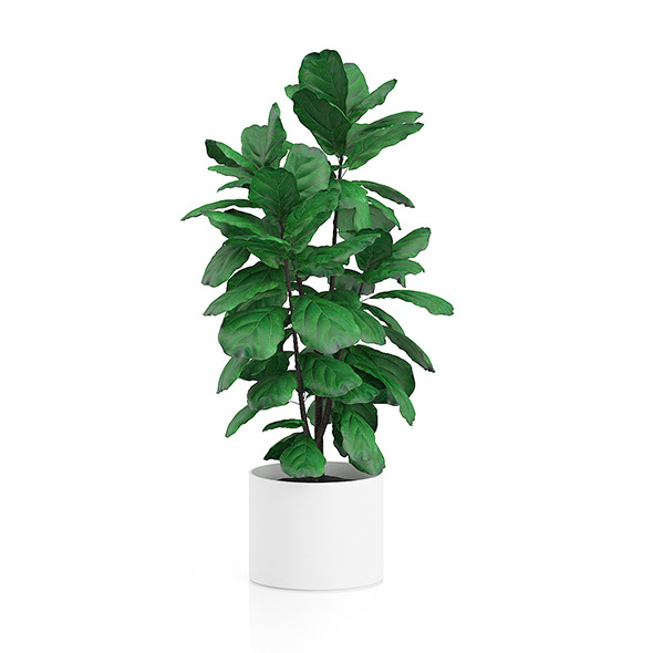 Potted Ficus Tree - 3DOcean Item for Sale