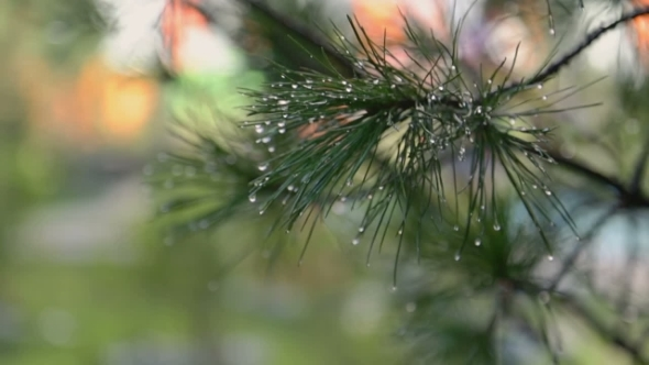 Wet Christmas Tree Branch
