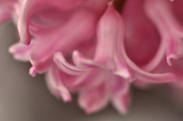 Pink%20flower_aj