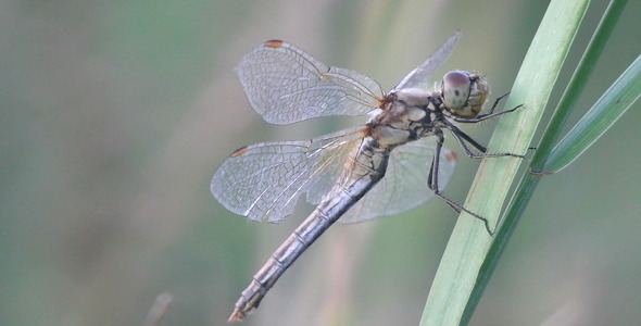 Big Dragonfly On A Blade Of Grass Macro