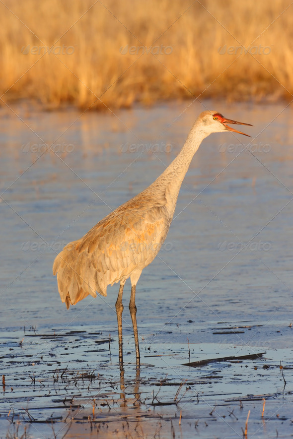 Sandhill Crane in Bosque del Apache - Stock Photo - Images